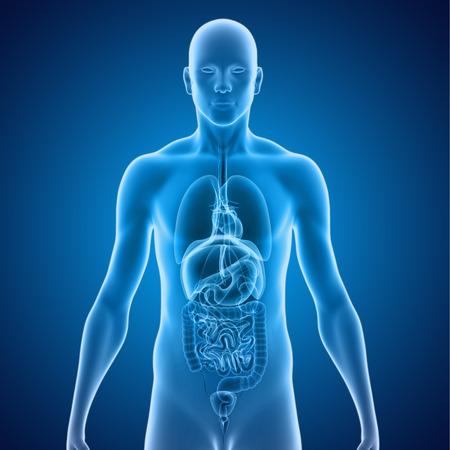 transparent male anatomy: Human Organs