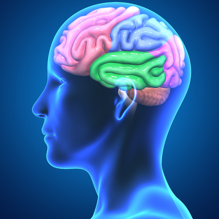 temporal: Brain parts Stock Photo