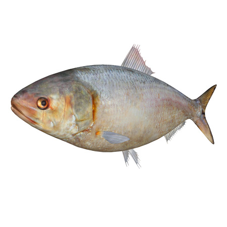 forage fish: Hilsa Fish