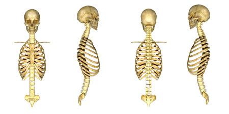 human skeleton: Cráneo con la caja torácica