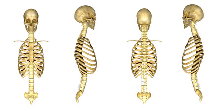 scheletro umano: Cranio con cassa toracica