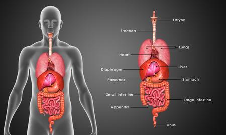 인간의 장기 스톡 콘텐츠
