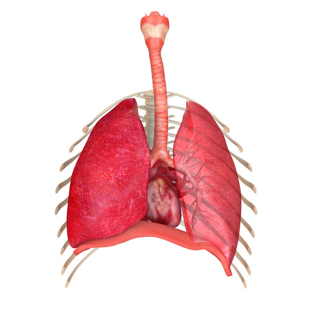nasal cavity: Human Respiratory System Stock Photo