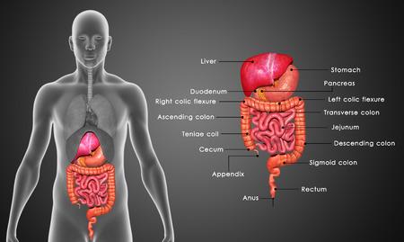 sistema digestivo: El sistema digestivo