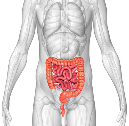 female large intestine: Small and large intestine Stock Photo