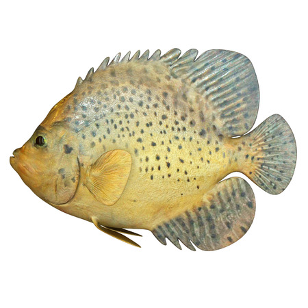 triggerfish: Marine Fish Stock Photo