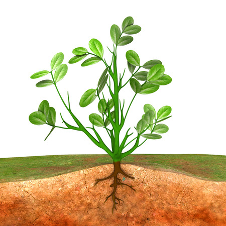 groundnut: Groundnut plant