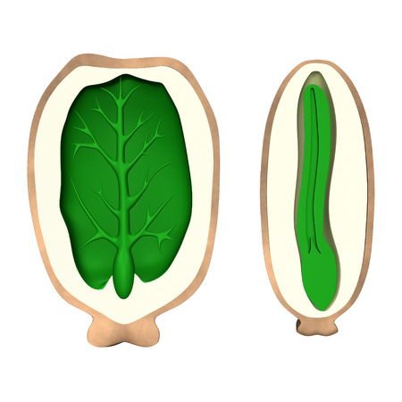 caruncle: Endosperm of Castor Seed