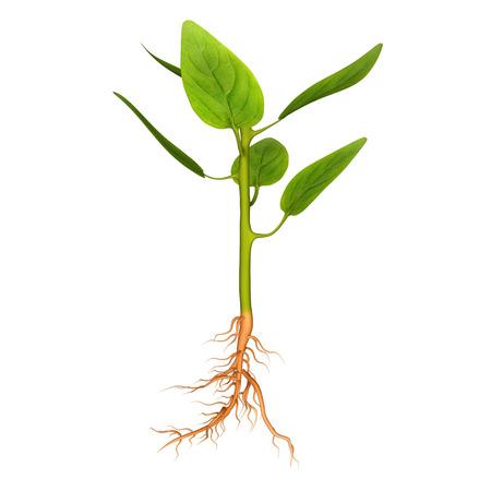 leah: Leaf growth