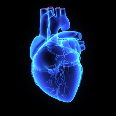 transparent male anatomy: Human Heart