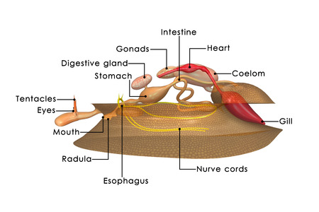 mollusca: Mollusca