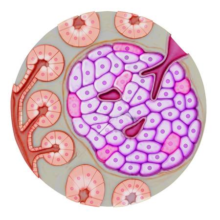 Pancreatic gland photo