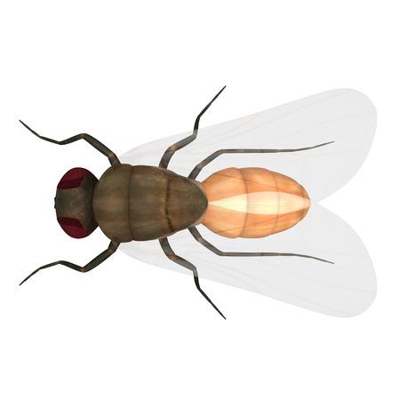 musca: Housefly