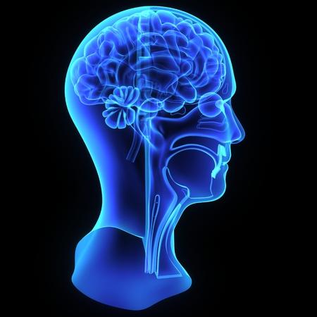 Head anatomy photo