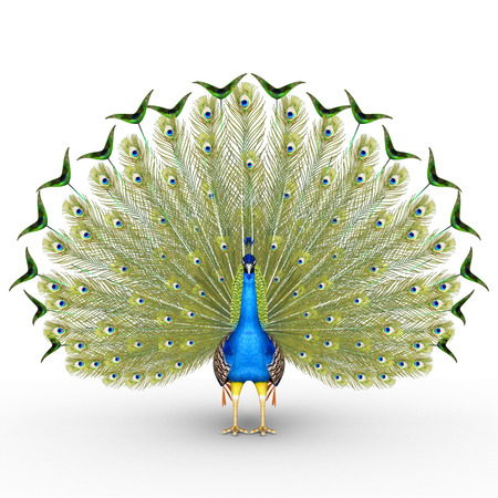Peacock Stock Photo - 36164389