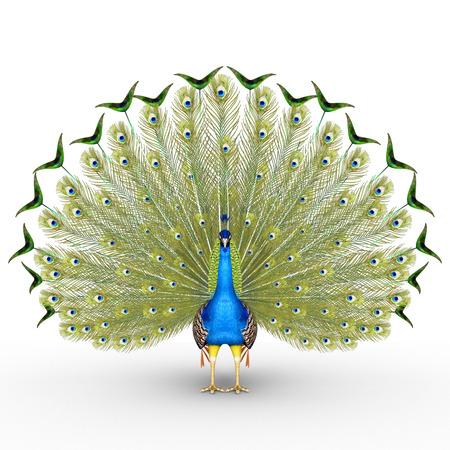 white feather: Peacock
