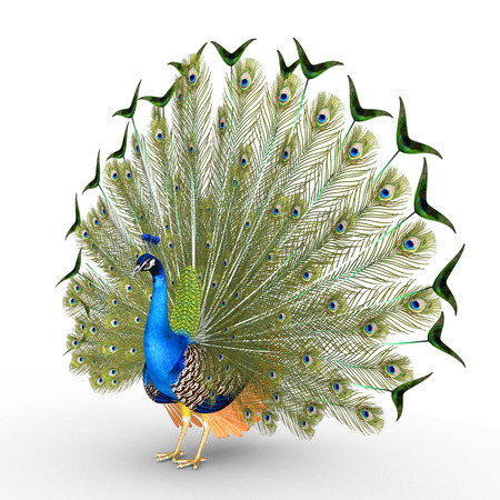 pavo real plumas: Peacock