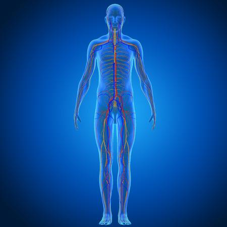 cuerpo hombre: Sistema circulatorio