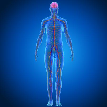 skelett mensch: Blutkreislauf