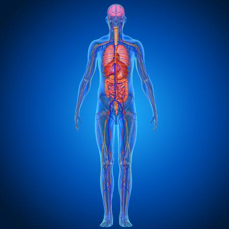 scheletro umano: Anatomia umana Archivio Fotografico