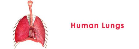 pleural: Human Lungs Stock Photo