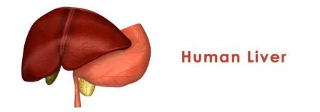 foie humain: Foie humain Banque d'images