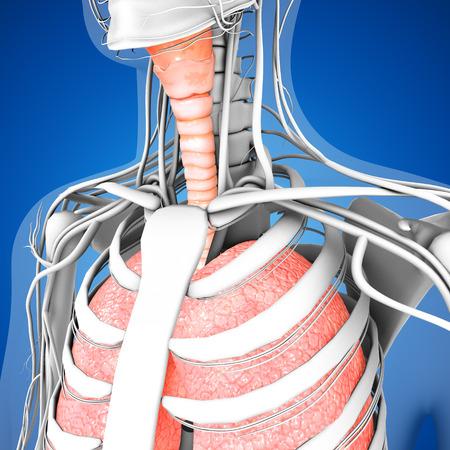 anatomie humaine: Poumons humains Banque d'images