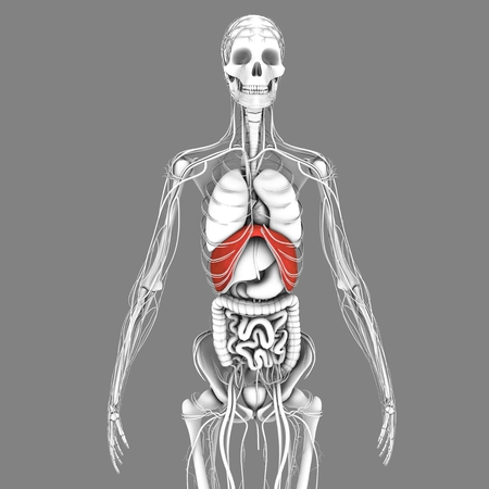 inhalation: Diaphragm