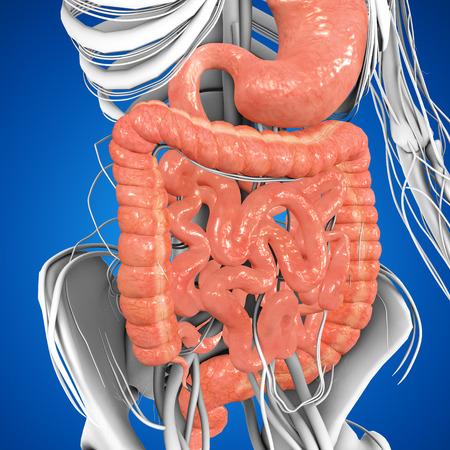 appendix: Digestive system