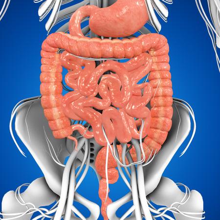 male large intestine: Digestive system
