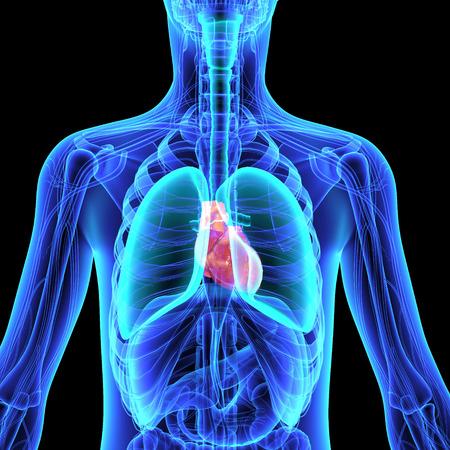 chest x ray: Human Anatomy
