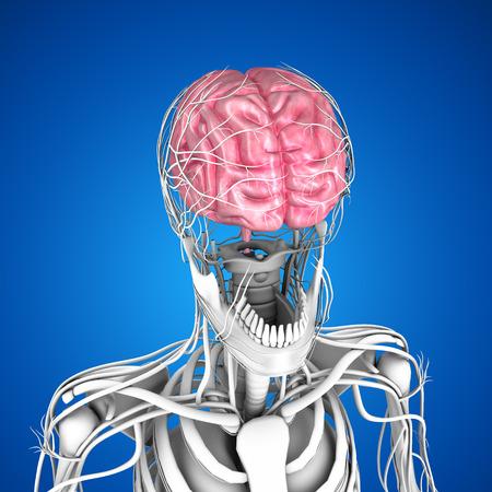 cerebrum: Human Brain