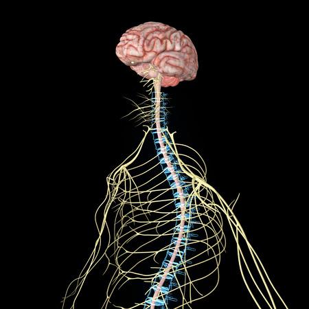 medula espinal: Sistema nervioso