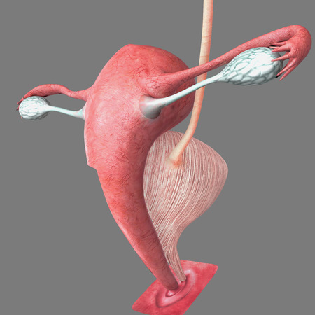 aparato reproductor: Sistema reproductivo femenino Foto de archivo
