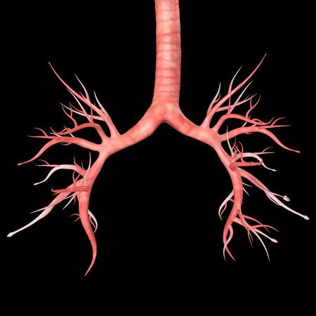 trachea: Trachea