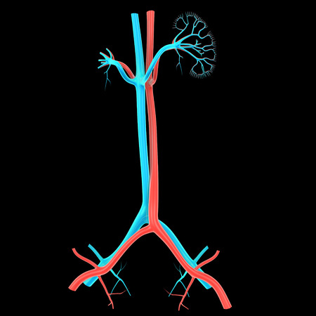 nephron: Kidney anatomy Stock Photo