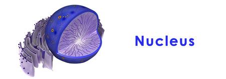 golgi: Nucleus