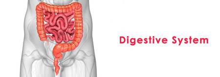 bile duct: Digestive system