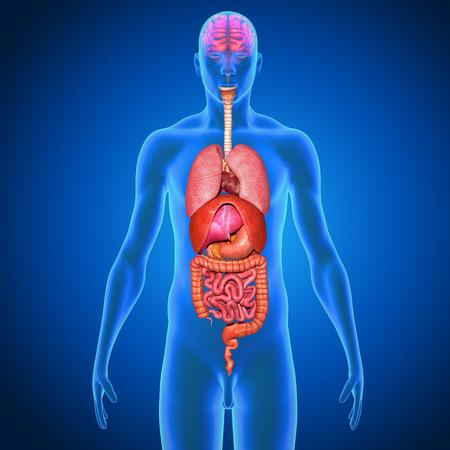 organos internos: Órganos humanos