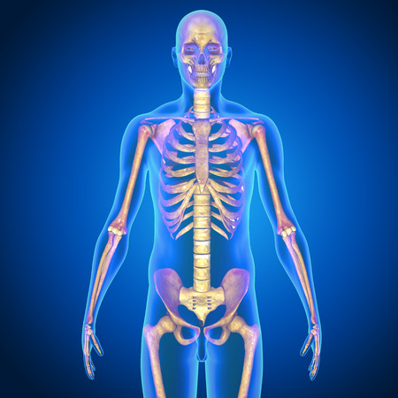 physiology: Human Skeleton