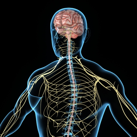 nerveux: Système nerveux