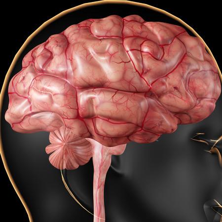 mri head: Human Brain