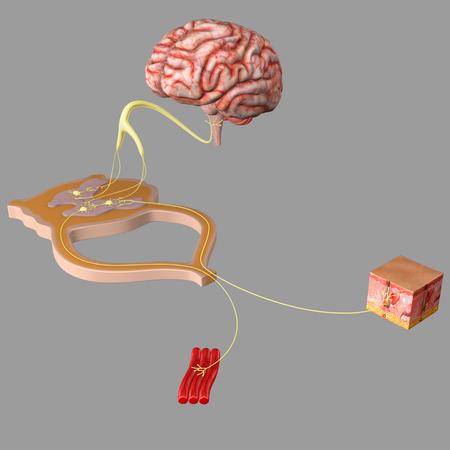Nervous system functionality Standard-Bild