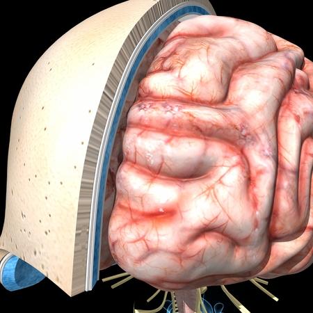 Skull layers and brain Stock Photo