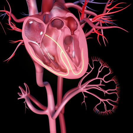 heart valves: Human Heart anatomy