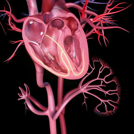cutaway drawing: Human Heart anatomy