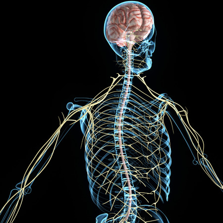 peripheral: Nervous system