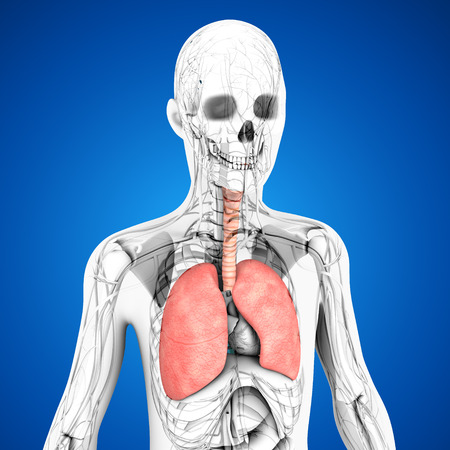 lung alveoli: Human Lungs Stock Photo