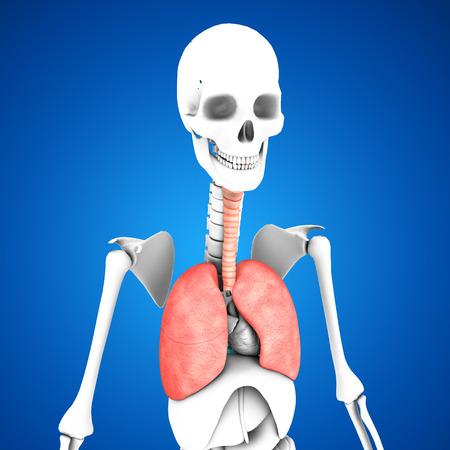 airways: Lungs