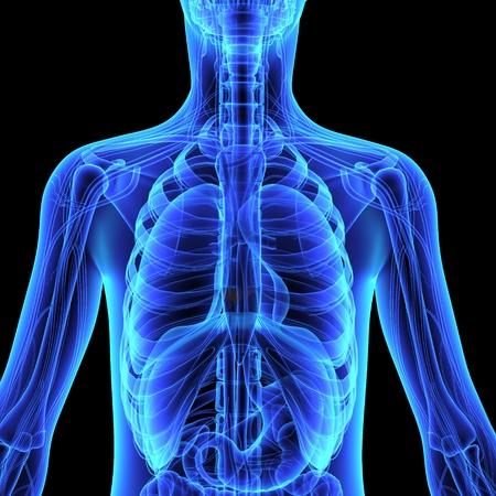 organi interni: Anatomia umana Archivio Fotografico